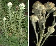 Pseudognaphalium viscosum