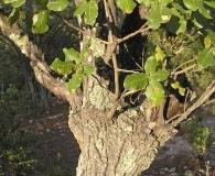 Quercus coccolobifolia