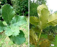 Quercus laeta