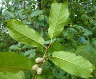 Quercus tuberculata