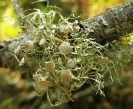Ramalina denticulata