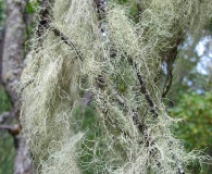 Ramalina thrausta