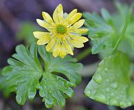 Ranunculus cooleyae