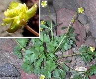 Ranunculus gelidus