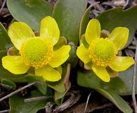 Ranunculus glaberrimus