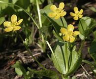 Ranunculus populago