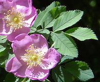 Rosa nutkana