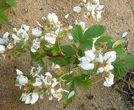 Rubus setosus