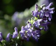 Salvia polystachya
