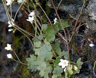 Saxifraga hyperborea