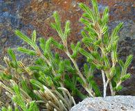Selaginella bigelovii