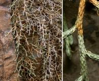 Selaginella mutica