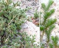 Selaginella rupincola