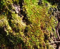 Sematophyllum adnatum