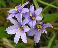 Sisyrinchium montanum