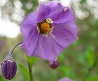 Solanum parishii