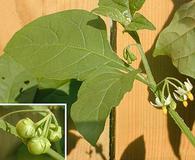 Solanum ptychanthum