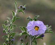 Solanum umbelliferum