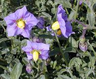 Solanum xanti