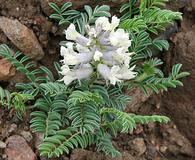 Sophora nuttalliana