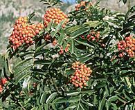 Sorbus californica