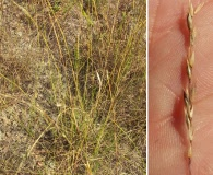 Sporobolus clandestinus
