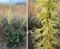 Stanleya viridiflora