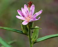 Stephanomeria lactucina