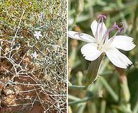 Stephanomeria pauciflora