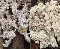 Stereocaulon alpinum