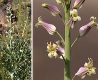 Streptanthus carinatus
