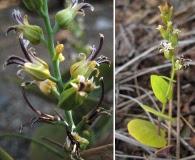 Streptanthus drepanoides