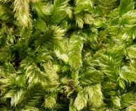 Taxiphyllum deplanatum