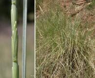 Thinopyrum ponticum