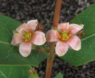 Triadenum tubulosum