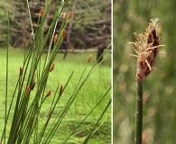 Trichophorum cespitosum