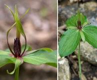 Trillium viridescens