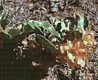 Tripterocalyx micranthus