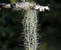 Usnea longissima