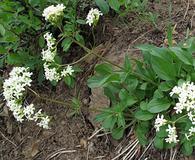 Valeriana columbiana