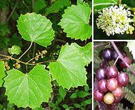 Vitis rotundifolia